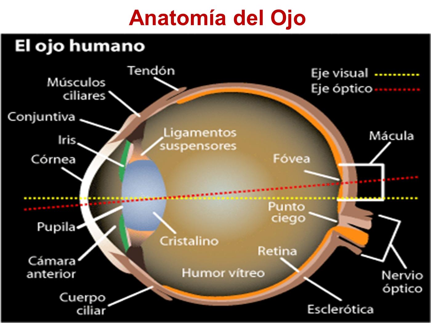 El Ojo Humano.ppt PowerPoint Presentation PPT